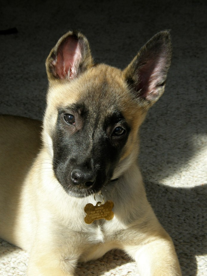 This picture was not taken in Belgium.  This is just a picture of my beautiful Belgian Malinois, Ginger, when she was just a pup!