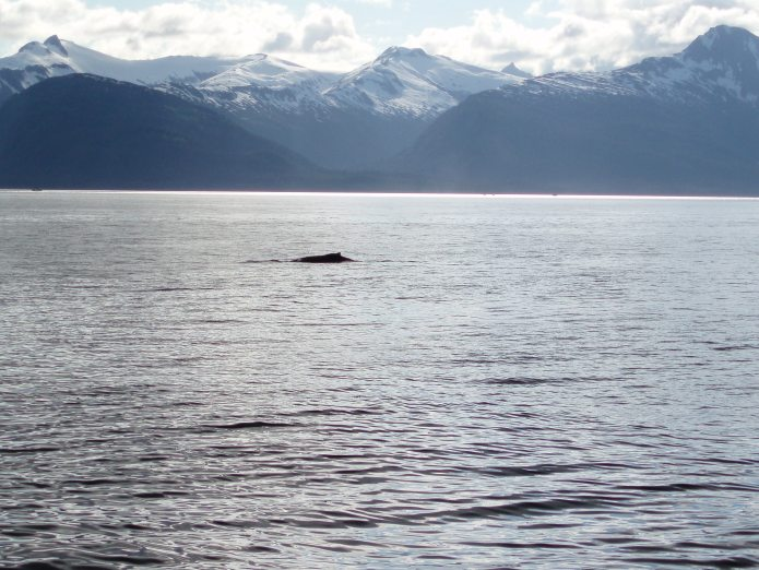 Whale Watching - Humpback Whale