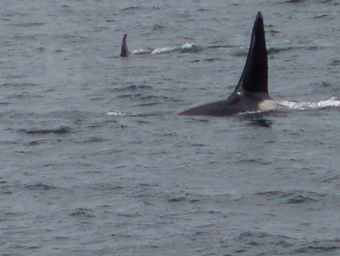 Whale Watching - Orca Whales