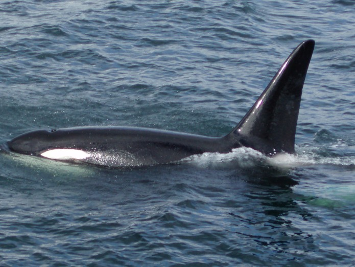 Whale Watching - Orca Whale