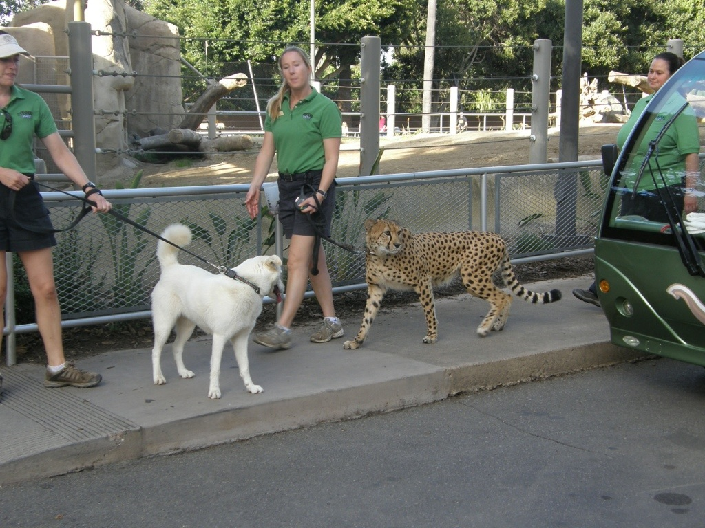 canines helping cheetahs get in the mood where in the world is